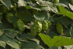 hops Imagens de Stock