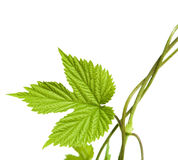 Hops Royalty Free Stock Images