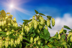 Hops against the sky Stock Images