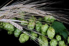 Hops and barley Stock Photography