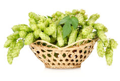 Hops in a basket isolated Royalty Free Stock Photos