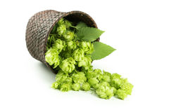 Hops in basket isolated on white. Royalty Free Stock Photography
