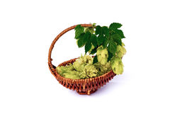 Hops in the basket isolated on a white background. Stock Photography