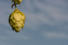 Hops with blue sky background Stock Image