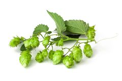 Hops branch royalty free stock photography