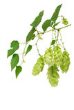 Hops branch Stock Photography