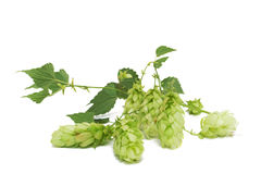 Hops branch Stock Photo