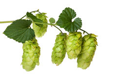 Hops branch Royalty Free Stock Image