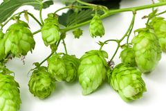 Hops branch close-up Royalty Free Stock Images