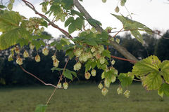 Hops branches Royalty Free Stock Photos