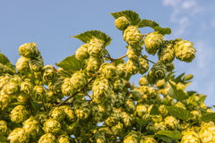 Hops bunched on vines Royalty Free Stock Photo