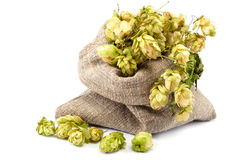 Hops in a canvas sack on white background. Royalty Free Stock Images