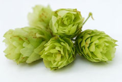 Hops close-up Royalty Free Stock Image