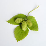 Hops close up. Stock Image