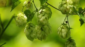 Hops stock footage