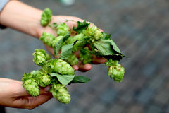 Hops cluster. Royalty Free Stock Images