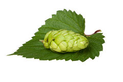 Hops cone on leaf Royalty Free Stock Image