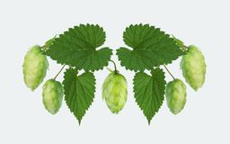 Hops cones and leaves, isolated with path. A composition of green hop cones with a leaves. stock photo
