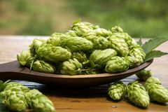 Hops cones in wooden ladle bowl with plantation background Stock Photo