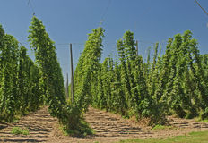 Hops Crops Royalty Free Stock Photo