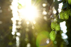Hops in the Evening Sun Royalty Free Stock Images