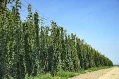 Hops farm Stock Photos