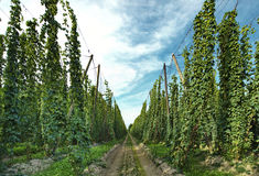 Hops farm Royalty Free Stock Photos