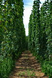 Hops farm #13 Stock Photography