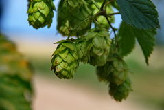 Hops farm #14 Royalty Free Stock Photos