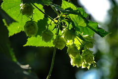 Hops farm #15 Royalty Free Stock Image