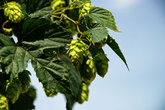 Hops farm #19 Stock Photography