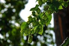 Hops farm #20 Stock Images