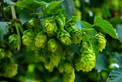 Hops farm #21 stock photo