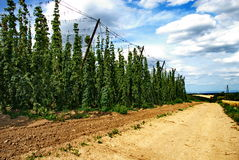 Hops farm #23 Stock Image