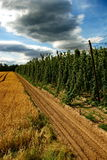 Hops farm #24 Royalty Free Stock Photography