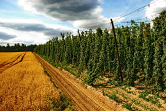Hops farm #25 Royalty Free Stock Image