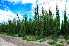 Hops farm #5 Stock Images