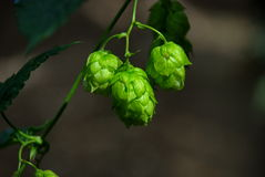Hops farm #6 Royalty Free Stock Image