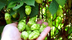Hops in the farmer hand ingredient for making beer. Hop cones harvest time, top view. Green fresh hops for making beer and bread, close up stock video