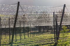 Hops Farming Beer Field Royalty Free Stock Photography
