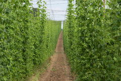 Hops Field Stock Images