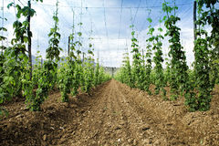 Hops field. Arable land. Thousand of plants growing to make beer.  royalty free stock image