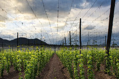 Hops Field - Cloudy Sky Stock Photography