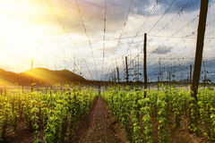 Hops Field - Cloudy Sky Stock Image