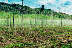 Hops in field Royalty Free Stock Images