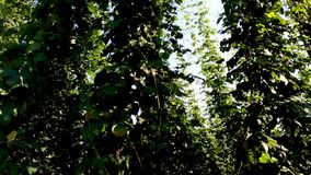 Hops, field with plants stock footage