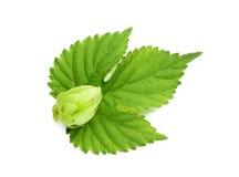 Hops flower on a leaf. Royalty Free Stock Images