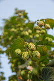 Hops Flowers Bud or at Plant Royalty Free Stock Photo