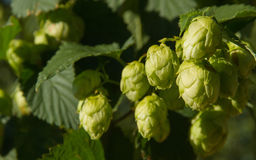Hops Flowers Bud or at Plant Royalty Free Stock Photography