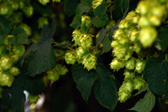 Hops flowers Stock Images